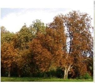 Mineuse du marronnier - Black Rot du marronnier